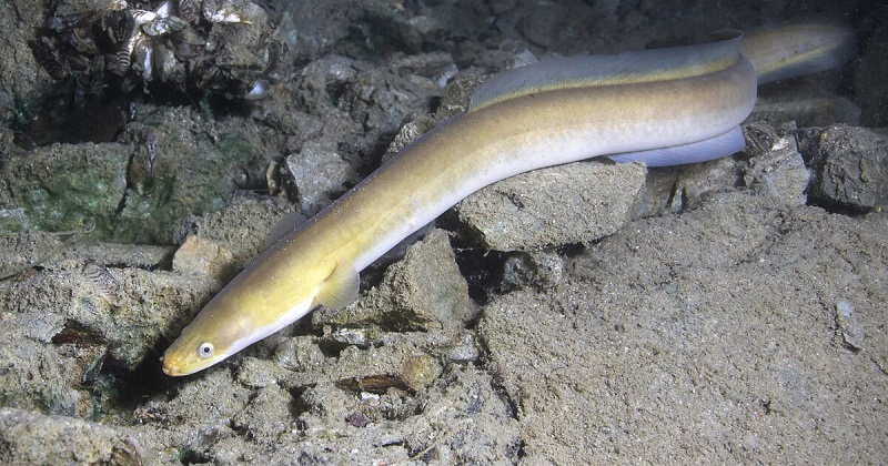 WHAT DO EELS EAT